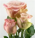 Faith Light Pink Rose from Colombia and Ecuador