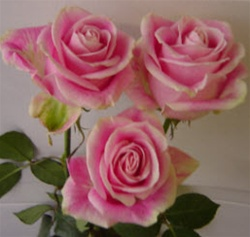 Rosita Vendela Pink Rose from Colombia and Ecuador