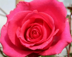 Shocking Versilia Hot Pink Rose from Colombia and Ecuador