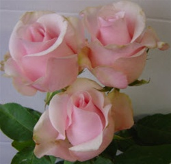 Titanic Light Pink Rose from Colombia and Ecuador