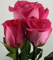 Topaz Hot Pink Rose from Colombia and Ecuador