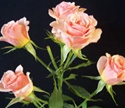 Online Wholesale Bulk Discount Cut Creamy Peach Spray Roses