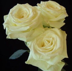 Creamy White Spray Roses