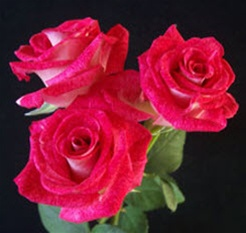 Hot Pink Bi-Color Spray Roses