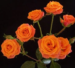 Orange Mambo Spray Roses