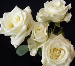 White Star Spray Roses