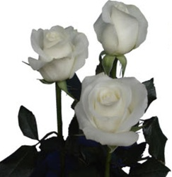 Akito White Rose from Columbia and Ecuador