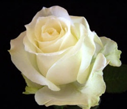 Avalanche White Rose from Columbia and Ecuador