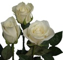 Escimo White Rose from Columbia and Ecuador