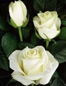 Polar Star White Rose from Columbia and Ecuador