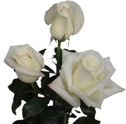 Virginia Creamy White Rose from Columbia and Ecuador