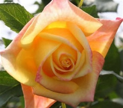 Aalsmeer Gold Yellow Rose from Columbia and Ecuador