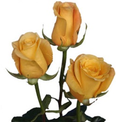 Conga Yellow Rose from Columbia and Ecuador