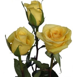 Gold Strike Yellow Rose from Columbia and Ecuador