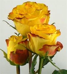 High and Yellow Magic Rose from Columbia and Ecuador