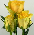 Idole Yellow Rose from Colombia and Ecuador
