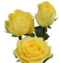 Latina Yellow Rose from Colombia and Ecuador