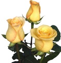 Latin Beauty Yellow Rose from Columbia and Ecuador