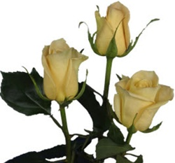 Skyline Yellow Rose from Columbia and Ecuador
