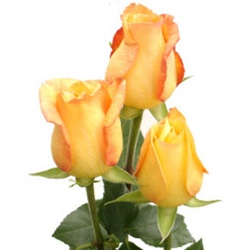 Tressor 2000 Yellow Rose from Columbia and Ecuador