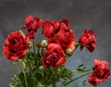 Online Wholesale Bulk Discount Cut Ranunculus - Chocolate