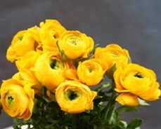 Online Wholesale Bulk Discount Cut Ranunculus - Gold