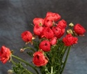 Online Wholesale Bulk Discount Cut Ranunculus -  Orange-Red