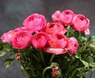 Online Wholesale Bulk Discount Cut Ranunculus -  Pink-Hot