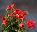 Online Wholesale Bulk Discount Cut Ranunculus -  Red