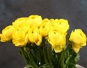 Online Wholesale Bulk Discount Cut Ranunculus -  Yellow