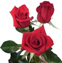 Charlotte Red Rose