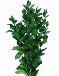 Wholesale Bulk Discount Wholesale Israeli Ruscus Greenery