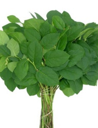 Wholesale Bulk Discount Wholesale Salal Tips Lemon Leaf Greenery