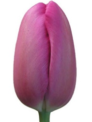 French Tulips - Lavender Dark