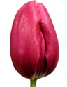 French Tulips - Hot Pink