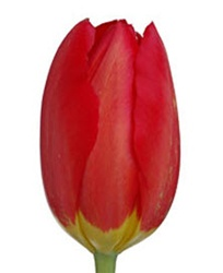 French Tulips - Red