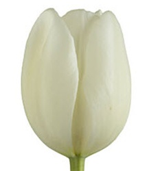French Tulips - White
