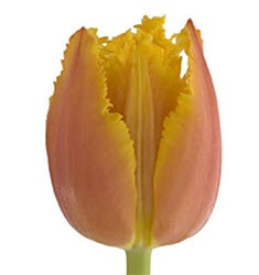 Novelty Tulips - Canary