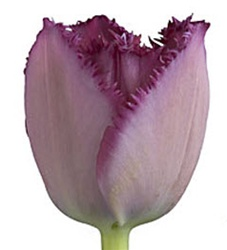 Novelty Tulips - Purple Fringe