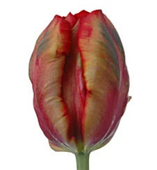 Novelty Tulips - Red/Green/Yellow