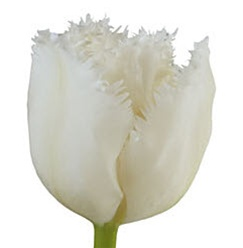 Novelty Tulips - White Fringe