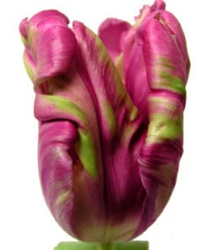 Parrot Tulips - Raspberry/Green