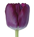 Standard Tulips - Purple