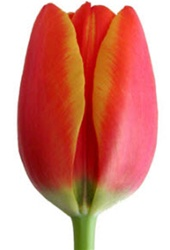 Standard Tulips - World's Favorite