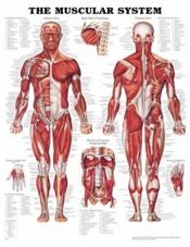 The Muscular System Chart 20X26 Laminated Chart
