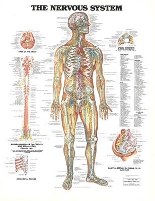 The Nervous System Chart 20X26 Laminated Chart