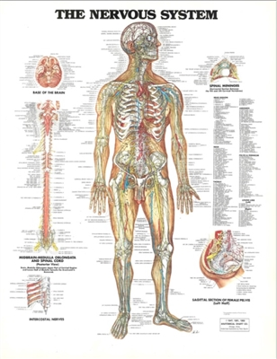 The Nervous System Chart 20X26 Laminated Chart ~ Clearance