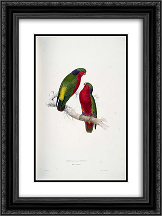 Psittacula kuhlii (Kuhl's Lorikeets) 18x24 Black or Gold Ornate Framed and Double Matted Art Print by Edward Lear