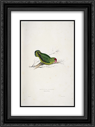 Psittacula taranta. Abyssinian parrakeet (Abyssinian Lovebird) 18x24 Black or Gold Ornate Framed and Double Matted Art Print by Edward Lear
