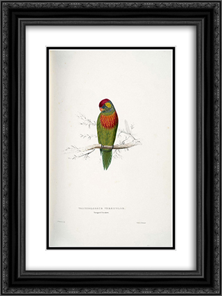Psitteuteles versicolor 18x24 Black or Gold Ornate Framed and Double Matted Art Print by Edward Lear